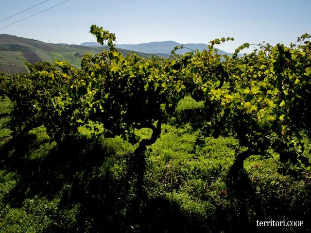 Fazio vanta 120 ettari di vigne e 200 conferitori storici nella bellissima Sicilia. #vino #produzione