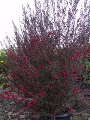 LEPTOSPERMUM scoparium 'Ruby Glow' New Zealand Tea Tree. Across the road as a natural wall