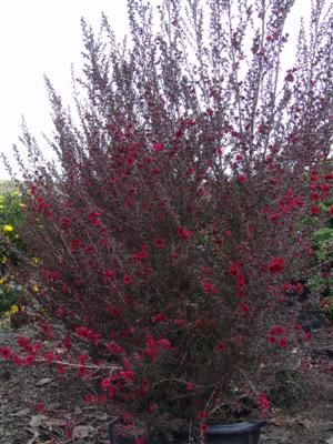 LEPTOSPERMUM scoparium 'Ruby Glow' New Zealand Tea Tree. Across the road as a natural wall
