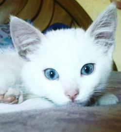 """El gen de la sordera, es un gen propio de los gatos blancos, se llama alelo w y es el causante del color blanco y la sordera en los gatos. No todos los gatos blancos son sordos, sólo lo son los que presentan dicho gen. El gen w hace que el gato sea blanco aunque sus genes digan que es un gato negro, o marrón, este gen tiene la particularidad de """"enmascarar"""" el resto de los colores para hacerlos blancos. Estos gatos además suelen tener los ojos azules o verdes."""
