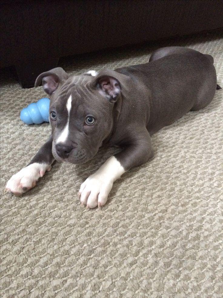 Cute bluenose pitbull