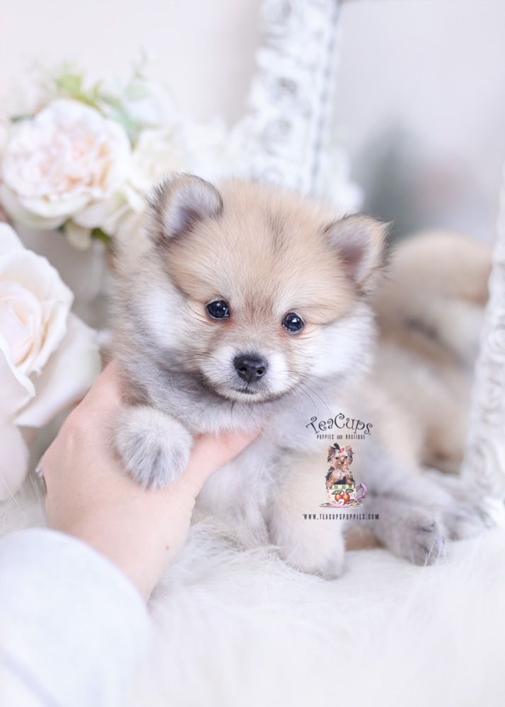 Cream Sable Pomeranian Puppies For Sale Cuteteacuppuppies