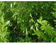 Correa Glabra Flowers Mvale Res