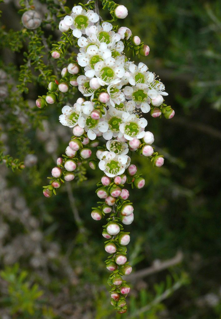 Tea tree (Leptospermum minutifolium). Most species are endemic to Australia, but some species grow in New Zealand,Malaysia. A shrub or small tree, early settlers soaked the leaves in boiling water to make a brewed tea rich in ascorbic acid (vit C)..