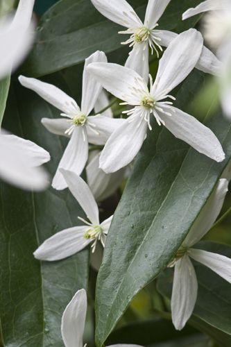 WISHLIST: Clematis armandii 'Snowdrift'  Fragrant evergreen vine, 25 foot. Full sun to part shade. Flowers in late winter