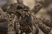 Dolomedes - Wikipedia, the free encyclopedia