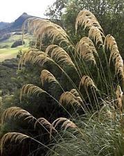 Ornamental Grass Seed - Cortaderia Pampas Grass Richardii Seeds