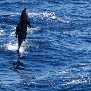 Dolphin in Socorro Islands