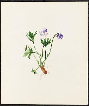 From the collection at Andersen Horticultural Library. Emma Roberts (1859-1948), a watercolorist from Minneapolis, founded the Handicraft Guild, and was supervisor of drawing for Minneapolis Public Schools. Emma painted Viola pedata (Bird's Foot Violet) sometime in 1882. Location is unknown.