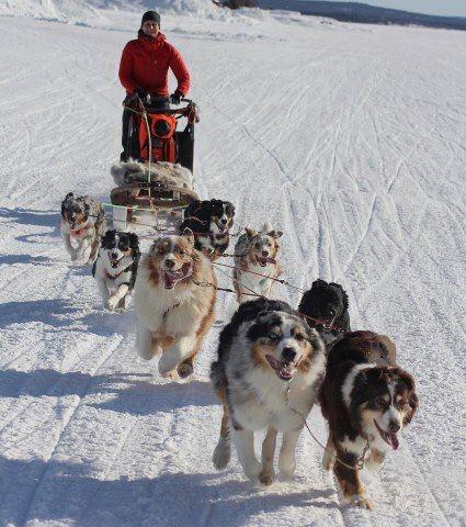 Aussie sled dog team!