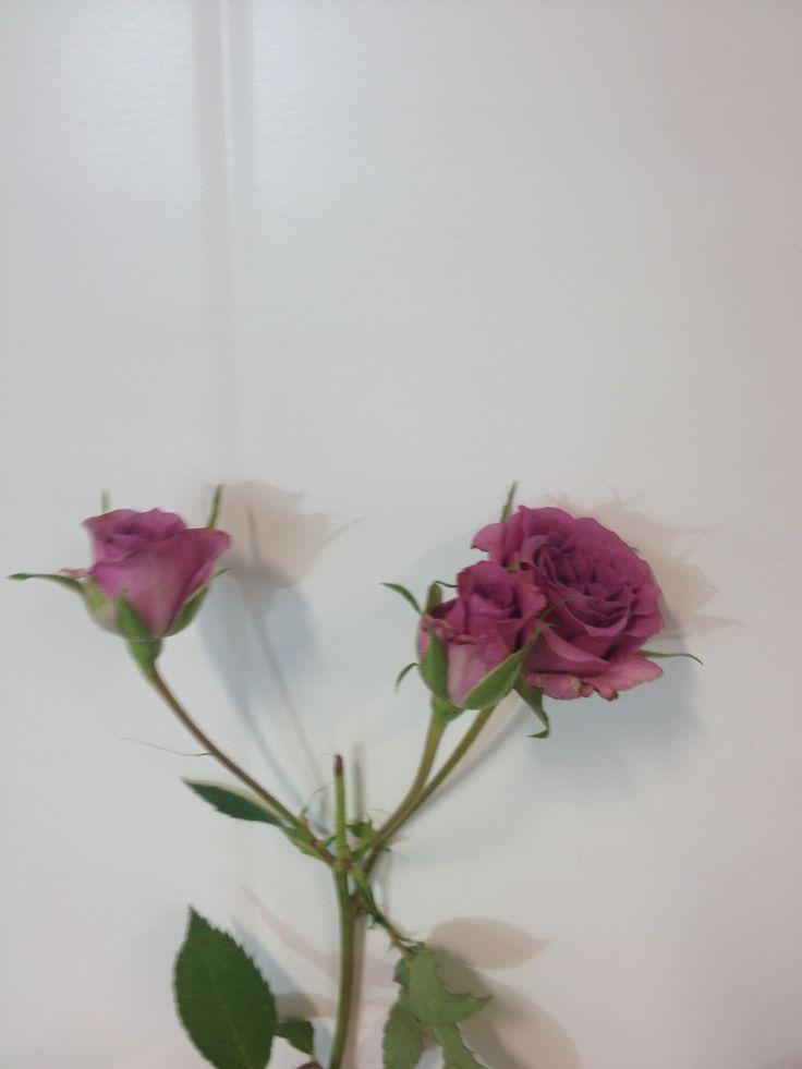 Rosa - ... - Grein rose - Lilla