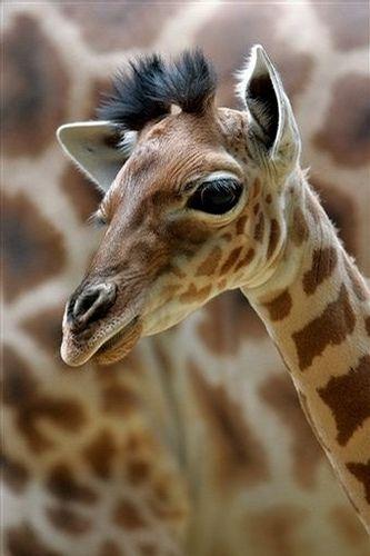 Giraffe Calf - photo from oddball32, via Flickr; at the Vincennes Zoo, near Paris, France (AP photo/Thibault Camus)