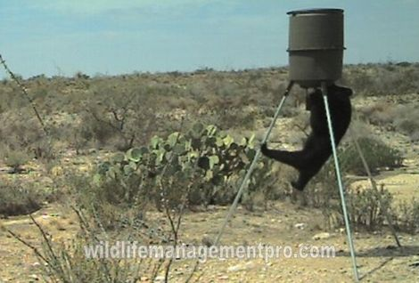 Black Bear at West Texas Deer Feeder, YES, Texas actually has a fair number of Black Bears in the western part of the state. With the Northern Mexico and New Mexico bears moving through the state Texas as become a crossroads for Black Bear traffic.