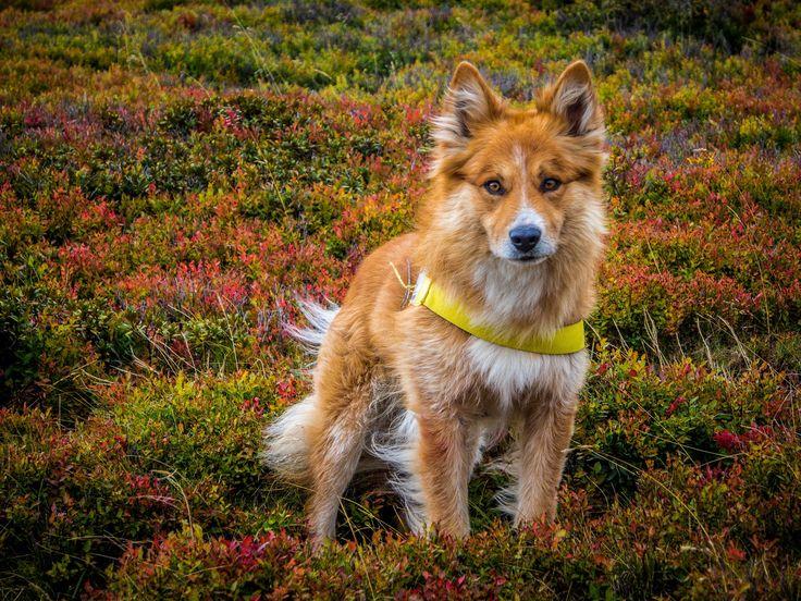 Fox of Harz - Origin: Harzer Fuchs Old german herding dog