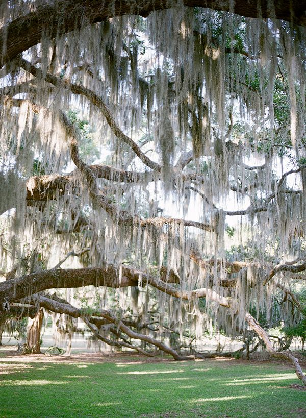 Spanish Moss and the South go hand in hand.