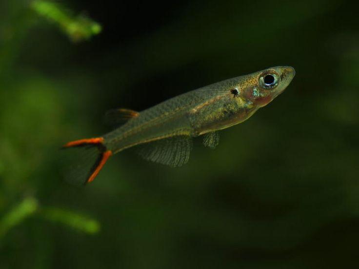 Danionella Species