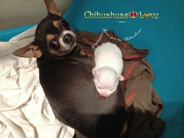 Chihuahuas Love - Chihuahuas Rechonchitos. Los Chihuahuas Mas Fuertes de La Camada.