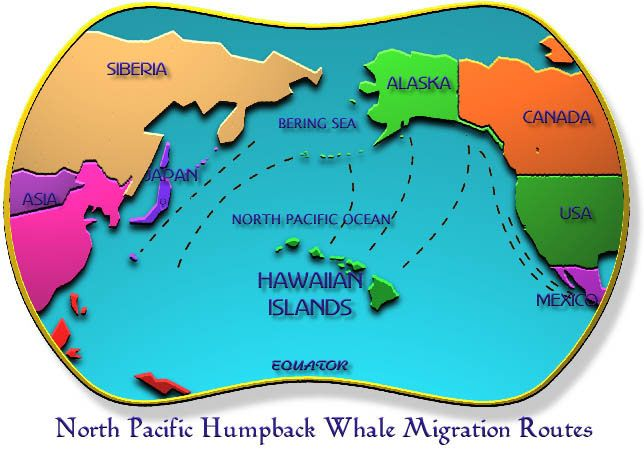Image detail for -humpback whale migration patterns - humpback whale migration hawaii