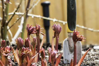 Peony Care In Spring: Tips On Caring For Peonies In Spring Who doesn't enjoy brushing aside winter mulch and garden debris to see what little plants are poking up through the soil? In many locations, the red-pink shoots of peony plants are one of the earlier signs of spring. Click this article to learn about spring care of peonies.
