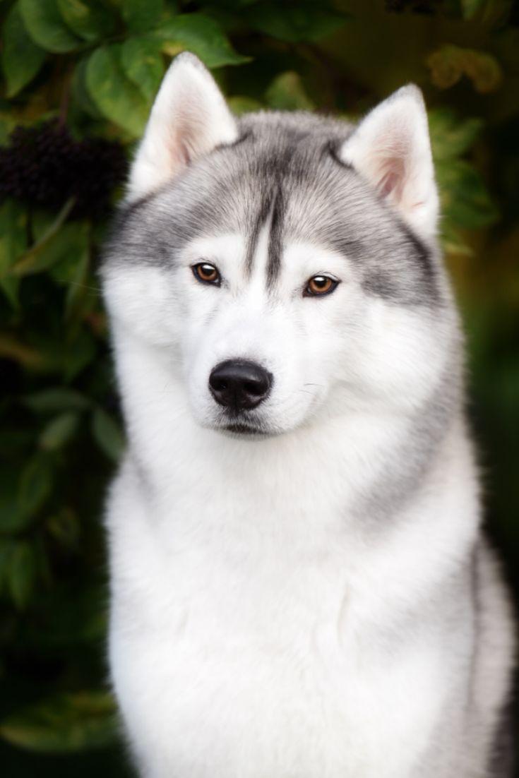 Home In 2020 Siberian Husky Husky Dogs White Husky Dog