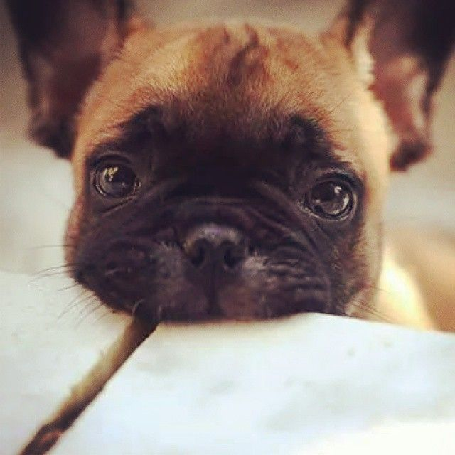Awe look at this little one...... Muuuah! French Bulldog Puppy