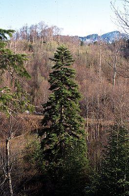 """""""Die Weiß-Tanne (Abies alba) oder #Weißtanne ist eine europäische Nadelbaumart aus der Gattung Tannen (Abies) in der Familie der Kieferngewächse ( #Pinaceae ). Der Name leitet sich von der im Vergleich zur Gemeinen Fichte (Picea abies) auffallend hellgrauen Borke ab. Weitere deutsche Trivialnamen wie Edeltanne[1] und Silbertanne[2] sind irreführend, da auch die in Nordamerika heimische Edel-Tanne (Abies procera) so bezeichnet wird."""""""