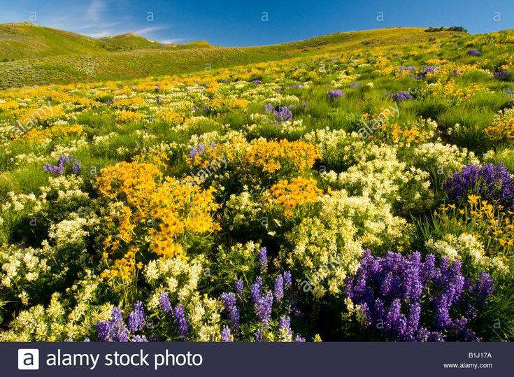 IDAHO, Camas Prairie. Meadow of purple lupine and yellow wildflowers Stock Photo, Royalty Free Image: 18221150 - Alamy