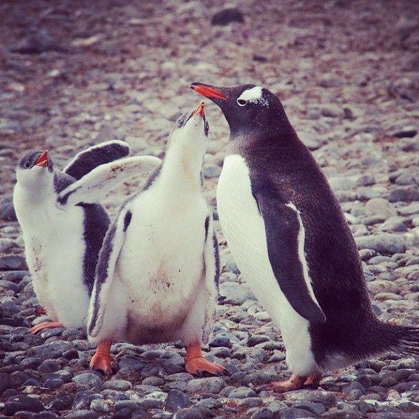 "@superpeni's photo: ""#antarctica #tourism #travel #cruise #southamerica #chile #penguin #penguins #2013 #animal #bird #moon #parent  #lunch #birdwatching #南極 #南米#ペンギン #食事 #夏#旅行"""
