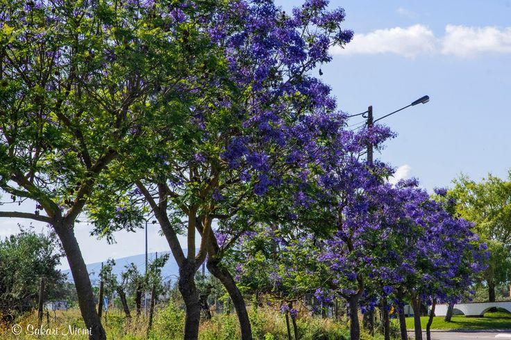 PT_160618 Portugali_0015 Kukkivia jakarandapuita Évorassa Alentejossa