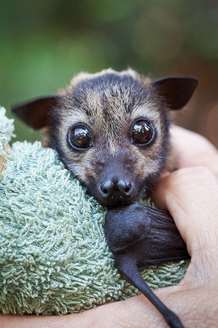 Best 25+ Baby Bats Ideas On Pinterest