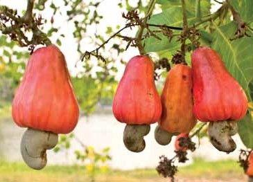 L'anacardo, squisito ricostituente naturale  #anacardo #naturale #natural #cashew #cashews #fruttaebacche