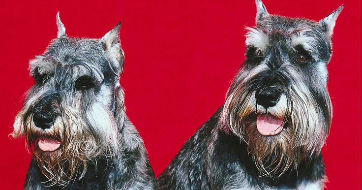 Modo barato de tosar o seu schnauzer você mesmo. Schnauzers, uma raça de cães originada na Alemanha, são muito conhecidos por seus focinhos barbados, únicos. Existem três variações de schnauzer, que são standard, gigante e miniatura. O schnauzer é um cão ativo que requer exercício, uma dieta saudável e tosa regular. As técnicas de tosa são as mesmas para as três variações da raça. Ela pode ser ...