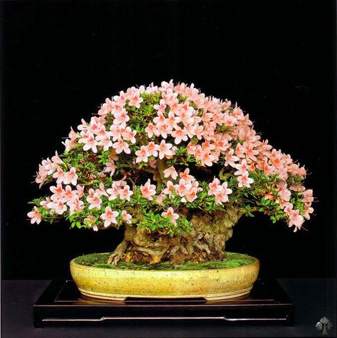 Las 25 mejores ideas sobre arbol de bonsai en pinterest for Bonsai de jardin