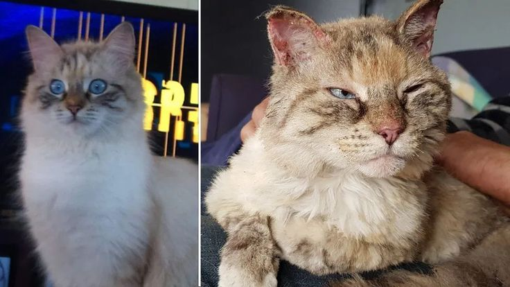 Family Overjoyed By Return Of Missing Cat Lost During Australian Bushfires In 2020 Cats Pets Cats Australian
