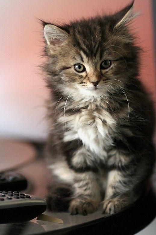 Best Fluffy Kittens Ideas On Pinterest Cute Kittens Cute - 32 adorable photos cats growing