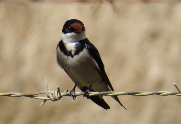 White-throated Swallow – another newly arrived migrant