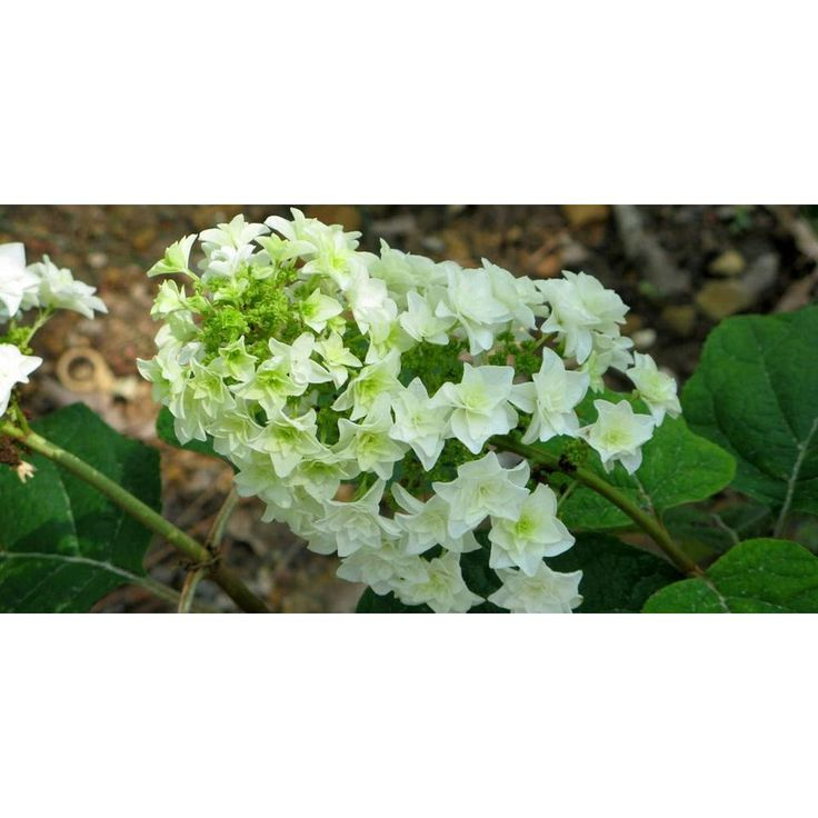 Gatsby star oakleaf hydrangea quercifolia live shrub
