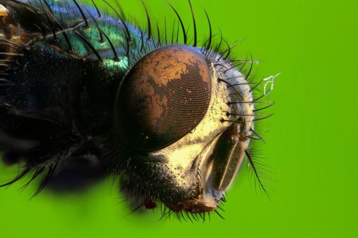 Spyfluga (Lucilia caesar) – | Krypbloggen –