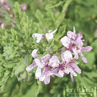 43 best garden ideas images on Pinterest   Scented geranium ...