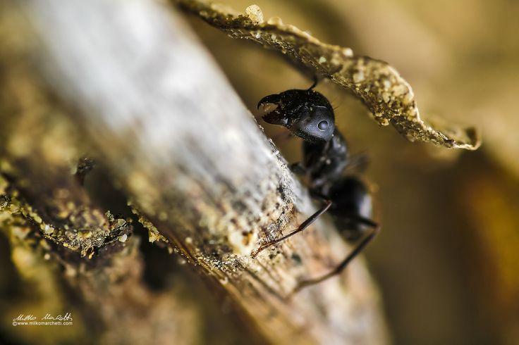 ant by Milko Marchetti on 500px