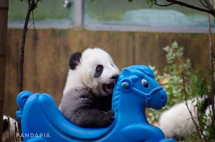 1000 images about panda on pinterest giant pandas pandas and baby