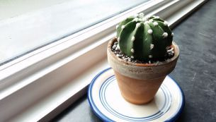 Echinopsis subdenudata | Easter lily cactus care & info
