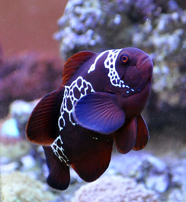 Best 25 cool fish ideas on pinterest pretty fish for Cool freshwater fish for sale