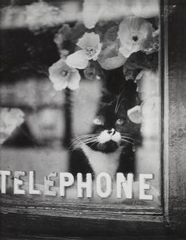 Chat Colette, Le chat du fleuriste vers 1938, Brassaï Paris, Centre Pompidou - Musée national d'art moderne