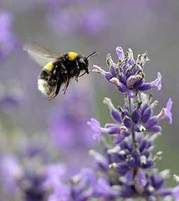 Flowers to plant that attract bees, pollinators from Eartheasy. Heather, red flower currant, rock cress, english lavender