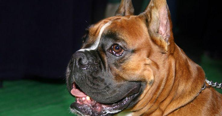 Prognóstico do câncer de mastócitos em cães. O câncer de mastócitos é uma forma potencialmente fatal de câncer que é comum em cães. De acordo com o Peteducation.com, os mastocitomas são responsáveis por 20% de todos os tumores da pele em cães. A detecção e o tratamento precoce são a chave para a saúde a longo prazo e a sobrevivência de cães afetados com o câncer das células mastro. Os cães ...