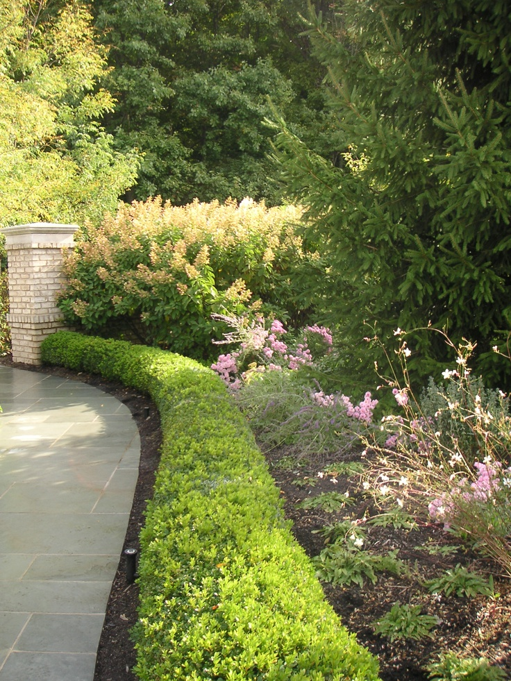 Boxwood hedge containing russian sage and mums landscape for Garden hedge designs
