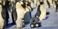 Image of the Day – Penguin Rover on The Scientist – Katherine Peterson