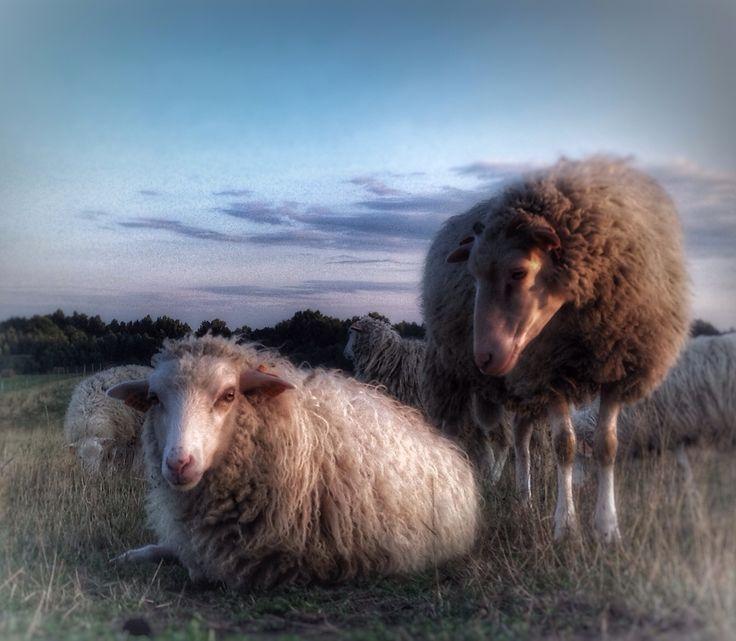 Swiniarka sheeps in Dolina Trzech Stawów in Poland