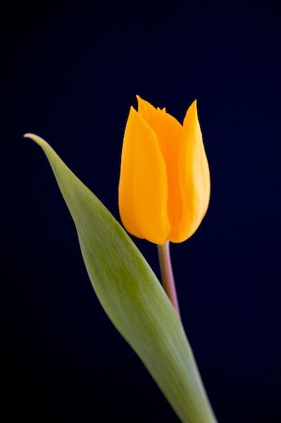 Yellow tulip, Aug. 22, Happy BIrthday Daddy, I miss you so  very much! Love Forever, Mary